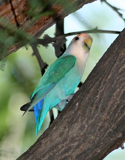 Blue Peach faced Lovebird