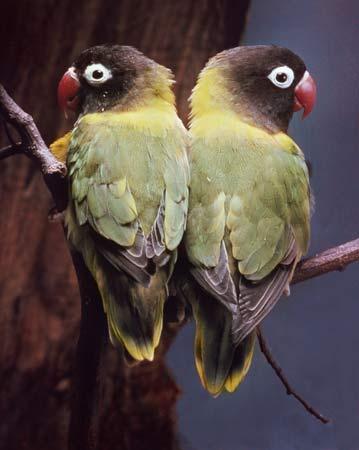black faced lovebird