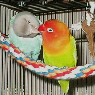 lovebird breeding
