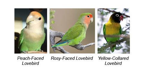 types of lovebirds